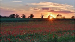 Burnham Overy mill in Norfolk (UK) (Gary Pearson Photography) Tags: mill norfolk poppy poppies burnham overy