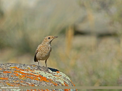 Rufous-tailed Rock-thrush (Monticola saxitilis) (gilgit2) Tags: avifauna birds borit canon canoneos70d category fauna feathers geotagged gilgitbaltistan gojal imranshah location pakistan rufoustailedrockthrushmonticolasaxitilis sigma sigma150500mmf563apodgoshsm species tags wildlife wings gilgit2 monticolasaxitilis monticolasaxatilis 05birds