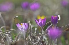 (c-or^^) Tags: macro nature fleur closeup flora bokeh blumen crocus fiori pentaxkr