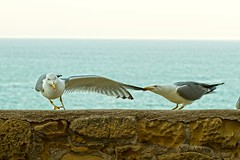 Will you dance with me? (king David Israel) Tags: ocean newyork bird nature animal horizontal canon coast fly nest seagull 200 getty aggressive melilla kingdavid gettyimage rememberthatmomentlevel1