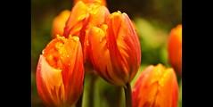 Healing Tulips (Darrell Wyatt) Tags: orange macro rain drops spring framed tulip raindrops micarttttworldphotographyawards micartttt