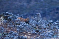 Ethiopian Wolf (Ethiopian Wolf Photography) Tags: africa mountains mammal highlands wolf african highland alpine fox bale wolves simian carnivore ethiopian canis canid afroalpine heighland simensis heighlands