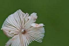 White fugus (Deb Jones1) Tags: white macro nature mushroom beauty canon garden botanical outdoors flora fungi fungus toadstool flickrduel debjones1