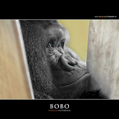 BOBO (Matthias Besant) Tags: animal animals mammal deutschland monkey tiere hessen gorilla ape monkeys mammals apes fell tier affen primates silverback affe primat silberruecken hominidae primaten querformat saeugetier saeugetiere menschenaffen hominoidea trockennasenaffe menschenartige flickrstruereflection1 affenfell menschenartig affenblick highqualityanimals flickrsfinestimages1 flickrsfinestimages2 flickrsfinestimages3 matthiasbesantphotography
