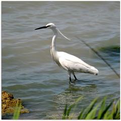 Birdwatching in Italy - Taranto (Max Perrini alias IK7TOE) Tags: italy birds nikon uccelli 2012 taranto oasi lavela ik7toe nikonflickraward nikond300s oasinaturalisticalavela