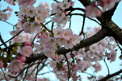Pink Blossoms (dannymac15_1999) Tags: world park new city travel pink flowers blue light sky usa white flower macro tree bird tourism monument nature water floral up festival architecture america mall season cherry japanese lights us dc washington spring high memorial day branch close view symbol time blossom united blossoms sightseeing tourist basin national american bloom states blooming