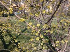 Pflanzen: Hartriegel -  Gelber Hartriegel / Kornelkirsche, blhende Zweige 2303201201 (bossco139) Tags: corneliancherry cornus hartriegel kornelkirsche gelberhartriegel europeancornel nokia6700s