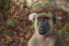 """Baboon Portrait"" (Marco Rigamonti Photography) Tags: africa light portrait nature animals fauna monkey kenya ngc baboon ritratto animali luce savana scimmia babbuino ringexcellence blinkagain marcorigamonti"