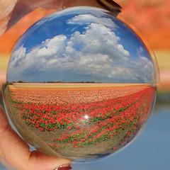 KG7A7204 (cwhilbun) Tags: flowers blue sky holland tree water windmill grass clouds vibrant tulip refraction unusual hyacinth muscari keukenhof crystalball vibrance lisse bollenstreek tulipfields crystalsphere sassenheim