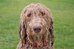 my true face (HJK Photography) Tags: dog dogs water fur labradoodle pallas labradoodles