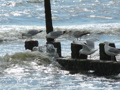 Sea gulls on groyne at Aberdeen Beach (iainh124a) Tags: uk sea birds lumix coast scotland waves panasonic aberdeen northsea tz7 dmczs3 iainh124a dmctz7 zs3