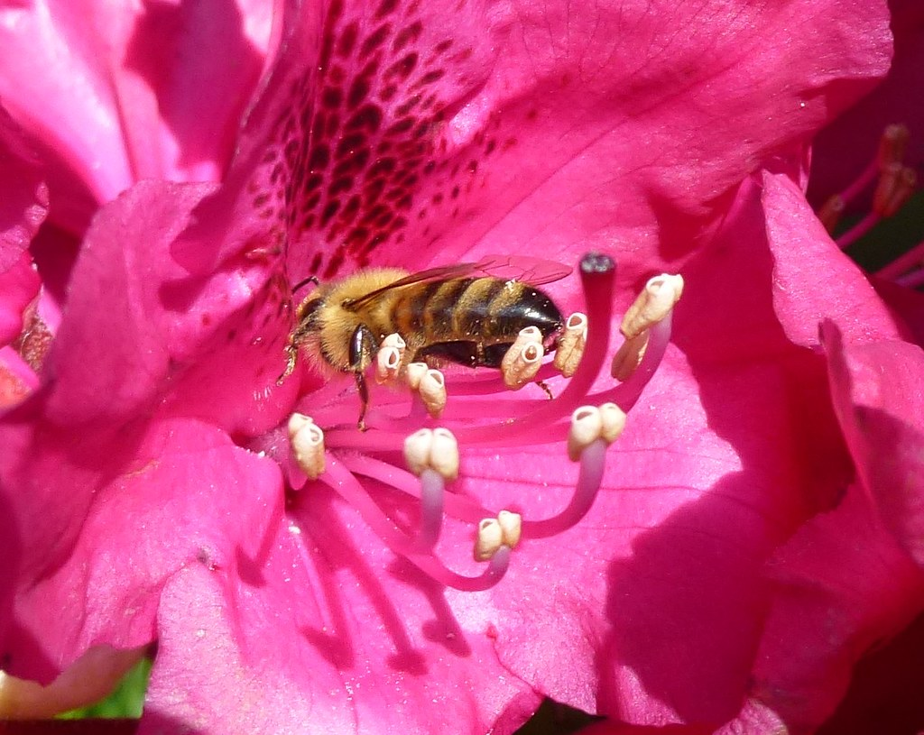 Bee visiting Rhododendron