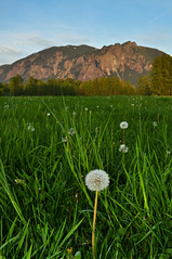 Dandelion Sunset! (Trevor Ducken) Tags: sunset mountain green nature landscape washington spring nikon meadow dandelion valley pacificnorthwest wa 2012 mtsi northbend d90 snoqualmievalley