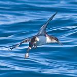 011069-IMG_1704 Fluttering Shearwater (Puffinus gavia) thumbnail