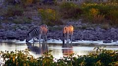Namibia (tor-falke) Tags: africa wild game animal wildlife ngc zebra afrika waterhole namibia etosha afrique zèbre torfalke flickrtorfalke