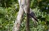 Levant Sparrowhawk / Accipiter brevipes / Σαΐνι (Panayotis1) Tags: birds canon aves greece animalia accipiter accipitridae chordata accipitriformes canonef400mmf56lusm imathia πουλιά ημαθία levantsparrowhawk accipiterbrevipes σαινι τάφροσ66 tafros66 kenkopro300afdgx14x