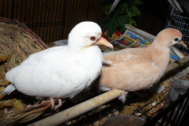 Young Baby Doves, 16-19 days old