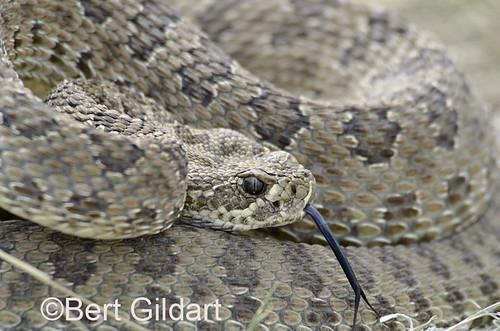 Snake-30