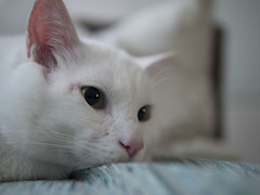 Cath Bokeh (Erman Peremeci) Tags: animals closeup cat bokeh elf whitecat gf1 micro43 panasonicgf1