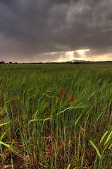 Stormy wheat fields (decar66) Tags: sky valencia clouds bread spain alley wheat trail fields drama dramaticsky campos finca wheatfields ontinyent terroir varietal tonemapped comunitatvalenciana terruo fontanars onteniente fontanarsdelsalforins fontanares lavalldalbaida wheatproduction salvabarbera