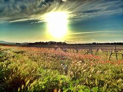 Amapolas (Xilvi) Tags: espaa naturaleza primavera sol valencia atardecer spain rboles pueblo paisaje cielo nubes vacaciones comunidad valenciana 4s montaas iphone vias amapolas comunidadvalenciana comunitatvalenciana fontanarsdelsalforins campodeamapolas
