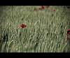 Aghi in un pagliaio #6 (Celeste Messina) Tags: flowers red detail macro verde green field landscape corn focus wheat country campagna particular tuscany poppy ear campo fiori toscana piante rosso paesaggio grano dettaglio papavero spiga