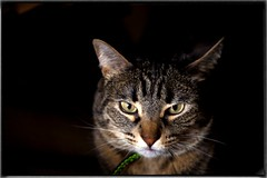Zarpas (Carlos SGP) Tags: cat highqualityanimals