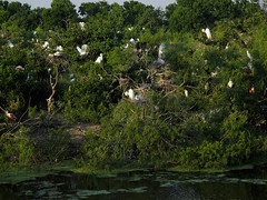 Smith Oaks Rookery in High Island, Texas (Let there be light (Andy)) Tags: birds texas egret rookery nesting highisland texasbirds houstonaudubon uppertexascoast smithoaks slbnesting