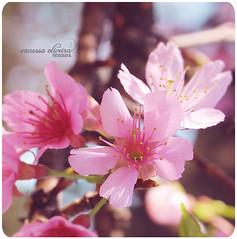 366 project | 145/366 (@agirafinha) Tags: flores flower macro up project square close flor das festa garça cerejeiras quadrada 366
