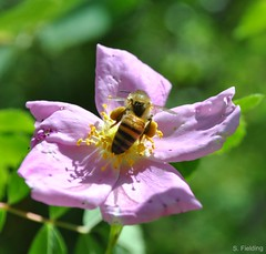 Honey Bee (S. Fielding) Tags: