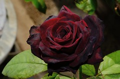 () Tags: rose rosa  rosarugosa   blacklady friendlyflickr rosahybrida