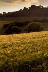 Maremma 24 (Tommaso Renieri) Tags: sunset shadow sky italy yellow canon landscape 50mm italia shadows village country tommaso pines ii cielo tuscany fields f18 toscana colori grano maremma t3i 600d campagnatico renieri