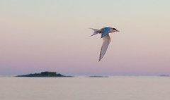 Tern (Antti Tassberg) Tags: sunset summer bird suomi finland evening fly flying inflight twilight europe bokeh eu scandinavia tern archipelago ilta kes lintu uusimaa lento kirkkonummi saaristo tiira evenfall lent skrubb skrobban storamickelskren
