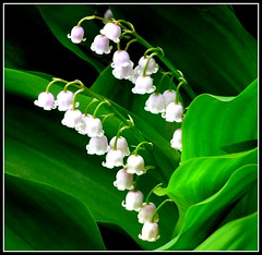 Lily-of-the-Valley (dimaruss34) Tags: newyork flower brooklyn image lilyofthevalley brookynbotanicgarden colorphotoaward dmitriyfomenko spring82012