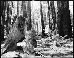 Muir Woods (Ryan M Long Photography) Tags: white black film pho