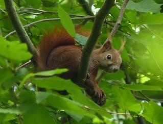 Eichhörnchen beim Schmausen, NGID1678694910