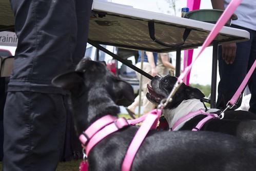 Examples of Brachycephalic Dogs