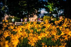 Major's Hill Park Flowers (michaelnugent) Tags: park ontario canada canon lens downtown mark ottawa hill ii l 5d mm 50 parc ef majors