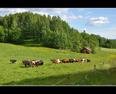 still a few cows around... :) (Grey travel) Tags: blue trees red summer sky sunlight color building green field grass animals norway clouds rural fence landscape countryside movement cows shed meadow telemark idyllic scapenature