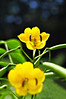 Close-up Yellow Flowers (e.nhan) Tags: flowers macro nature yellow closeup dof bokeh enhan