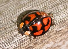 Injured Ladybug (aeschylus18917) Tags: macro nature japan season insect tokyo spring nikon seasons beetle ladybird ladybug   nerima pxt coleoptera  105mm coccinellidae nerimaku insecta  kabutomushi 105mmf28 hemiptera  harmoniaaxyridis  shakujikoen  harlequinladybird    105mmf28gvrmicro  d700 nikkor105mmf28gvrmicro  shakujipark    nikond700 danielruyle aeschylus18917 danruyle druyle   shakujiiken