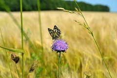Papillon (R.Laffontas) Tags: summer yellow jaune butterfly purple sommer feld violet gelb papillon t korn champ schmetterling violett bl crales mygearandmepremium flickrsfinestimages1 rememberthatmomentlevel3