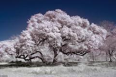 Texas oak tree (Scott Clements) Tags: tree oak infrared