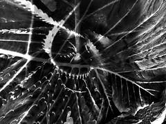 espinas y nervaduras (Clauminara) Tags: abstract mxico mexico abstracto mejico