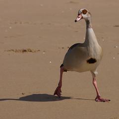 start walking (edwin van buuringen) Tags: bird beach scheveningen sony thenetherlands alpha thehague southholland slt77v