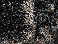 2016-04-27_DSCN5322 (becklectic) Tags: oregon oysters oregoncoast mussels tidepools yachats 2016