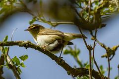 Willow Warbler (warren hanratty) Tags: nature wildlife gloucestershire slimbridge willowwarbler wwtslimbridge warrenhanrattyphotography