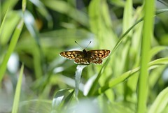 Duke of Burgundy, Hamearis lucina (willjatkins) Tags: macro butterfly butterflies duke lepidoptera ivinghoebeacon dukeofburgundy sigma105mm springwildlife hamearislucina hamearis macrowildlife nikond7100 buckinghamshirewildlife buckinghamshirebutterflies ivinghoebeaconbutterflies butterfliesofivinghoebeacon buckinghamshirelepidoptera buckinghamshirebutterfly