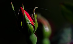 Rosebud On The Web (jrussell.1916) Tags: red macro green nature spring depthoffield webs rosebuds canonef70200mmf4lis