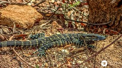 Lace (The Photo Smithy) Tags: reptile australia monitor lizard wolgan australianwildlife wolganvalley